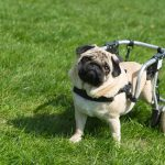 Perfectly Imperfect: Home Modifications for Disabled Pets