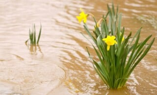 Daffodil flowers in the muddy flood waters of the South Umpqua River in Oregon