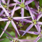 Unusual flower identified as Allium.