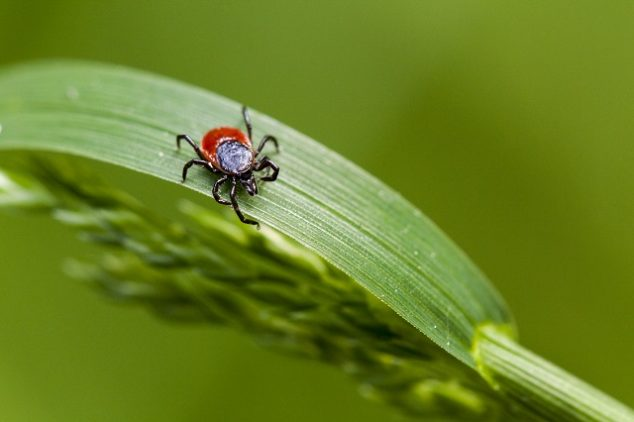 tick on an living plant leaf