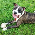 happy pit bull with ball on lawn