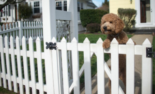 Dog on white picket garden fence in front yard of home