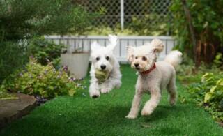 dogs running in backyard